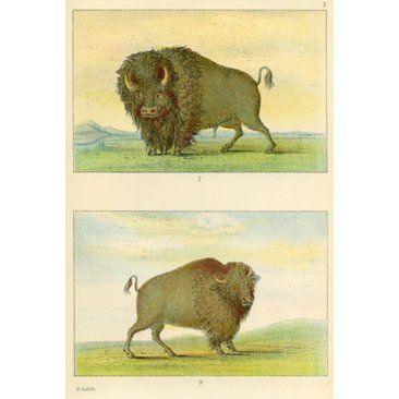 Check out this item at One Kings Lane! American Bison, 1926