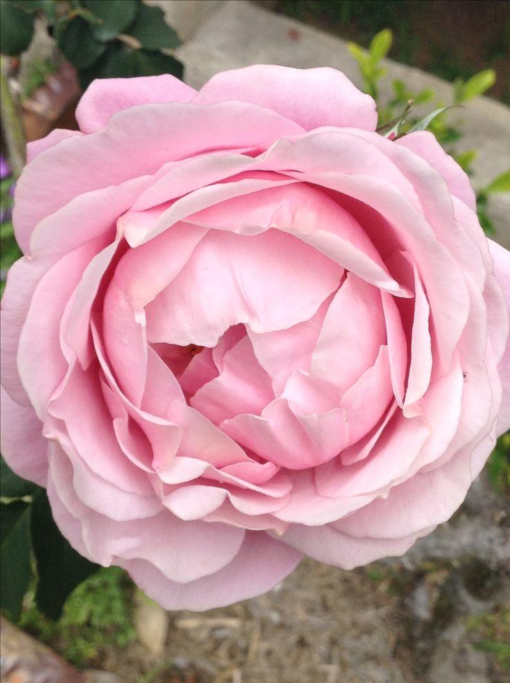 One pretty rose in my garden