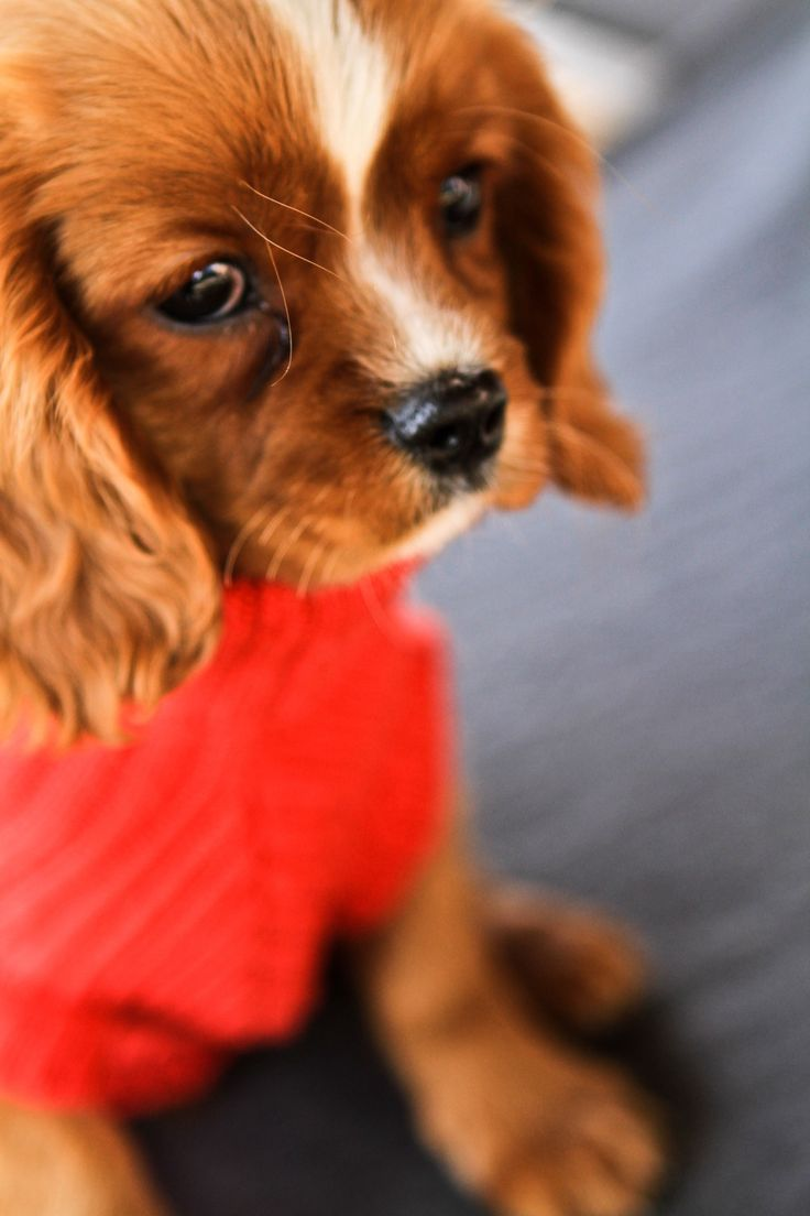 This will be my next dog! King Charles Cavalier! Female named Lady :) So we'll have Copper(Fox and the Hound) and Lady(Lady and the Tramp)!