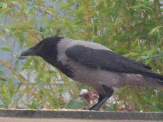 Unusual Jackdaw visiting the garden.  Doesn't like the regular Jackdaws but gets on well with the Magpies.  Picture taken by Abbey Kaos.