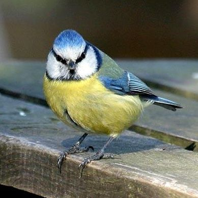 Blue Tit – Norfolk Wildlife