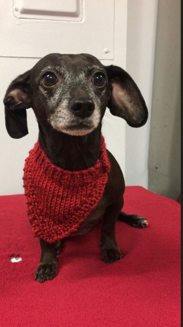 Dogs For Adoption Petfinder Dog Adoption Dachshund Dogs
