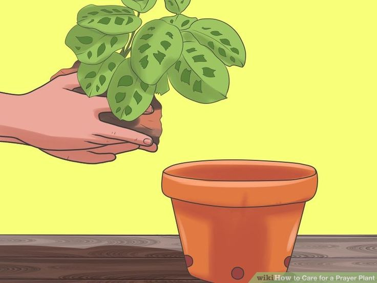 Image titled Care for a Prayer Plant Step 1