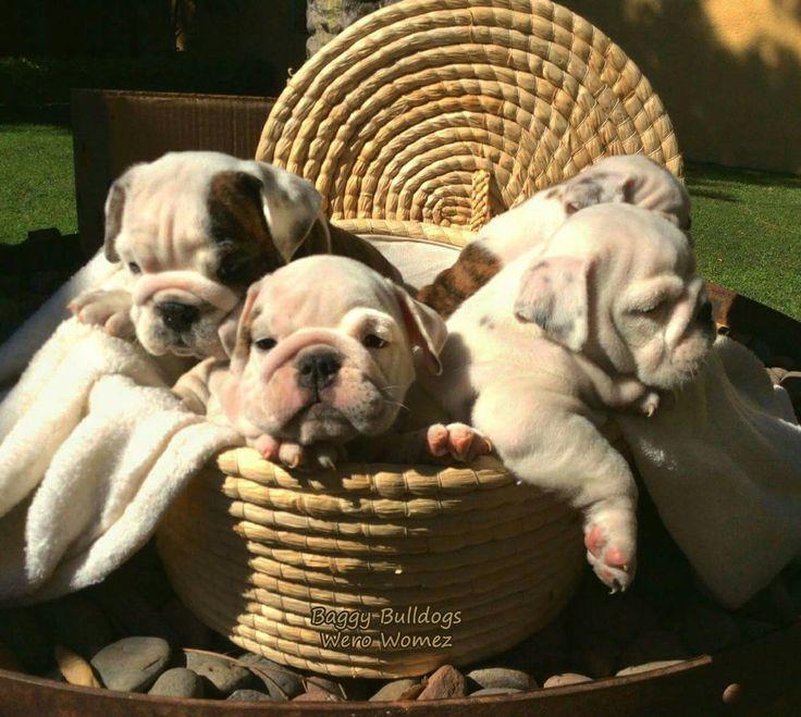 So cute Bulldog puppies
