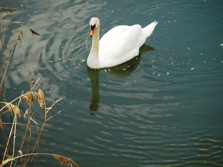 Fotos de Nacimiento de cisnes en el Rio Carrión