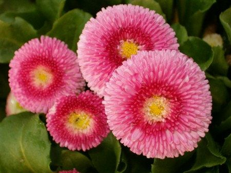500000 Seeds 100 grams English Daisy Bellis Perennis by seedsshop