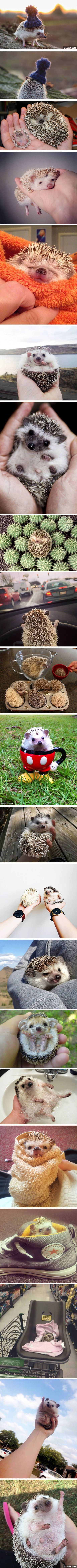 I start to fall in love with hedgehogs