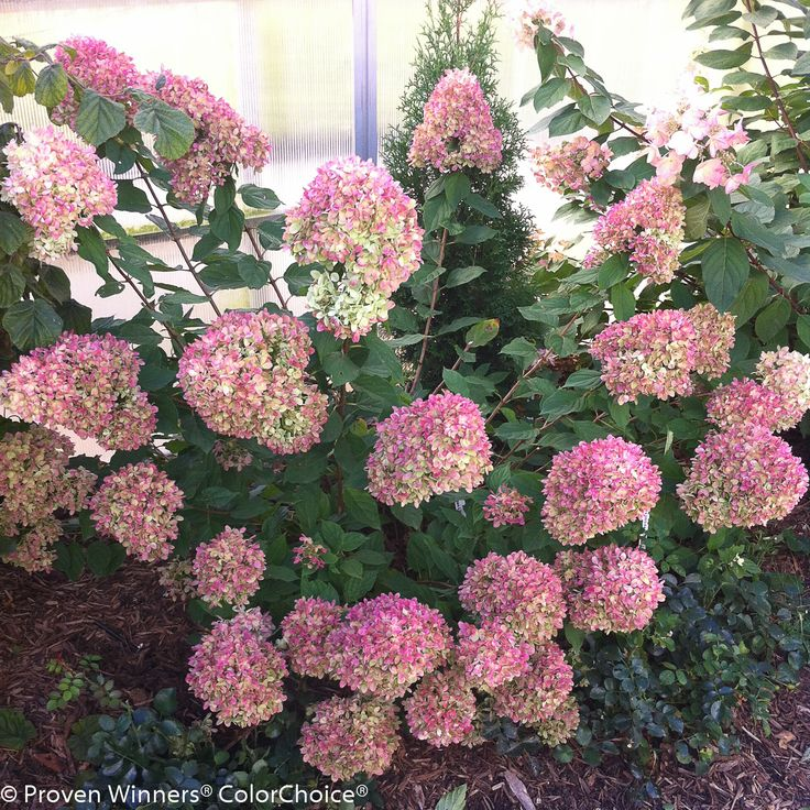 Little Lime Hydrangea is a little dwarf-sized long flowering hydrangea that keeps on giving! Flowering begins in mid-summer and continues through fall. It begins as a pale lime green in mid-summer, then pink, fading to beige in winter, independent of the pH of your soil.  #provenwinners #garden #spring #gardenchat #trees #flowers #gardening #plants