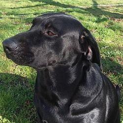 Available Pets At Adopt A Rescued Friend Inc In Houston Texas Labrador Retriever Labrador Retriever