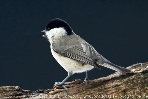 Vzhled: Willow Tit