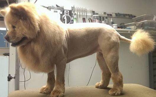 Black Chow Chow Lion Cut Cut chow, lion cut