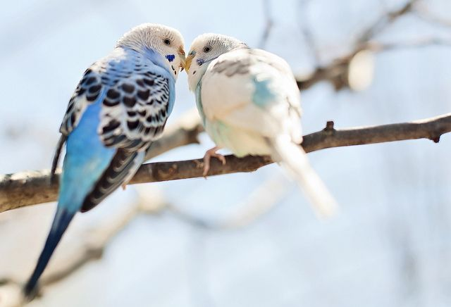 parakeetsParakeets, Birds Pictures, Birds Of Paradis, Feathers, Kelly West, Shades Of Green, West Mars, Kisses, Animal