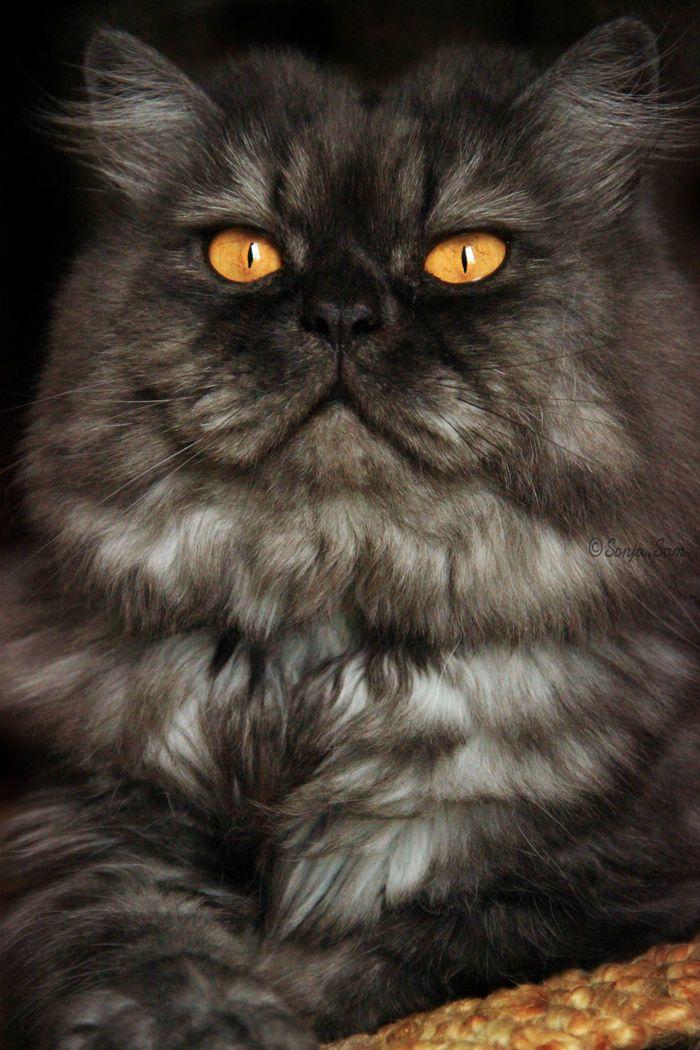 Grisou on yummypets.com #persan #cat #kitty