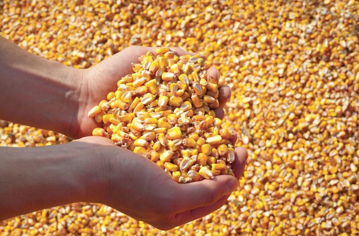 Allarme aflatossine nei cereali e pericolo intossicazione. Cosa sono, come si…