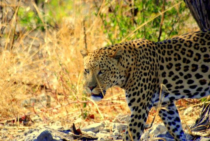Southern African Big Cats... Beautiful, graceful and still wild...