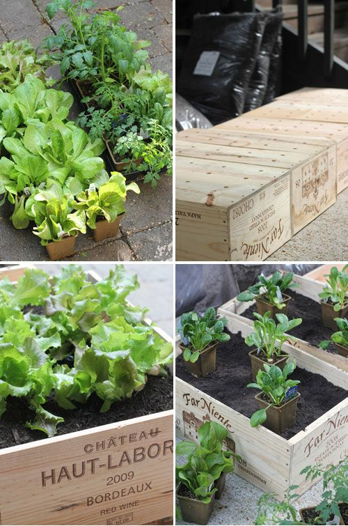 growing salad into old wine crates