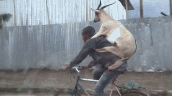 Learning to ride a bike  with a goat!
