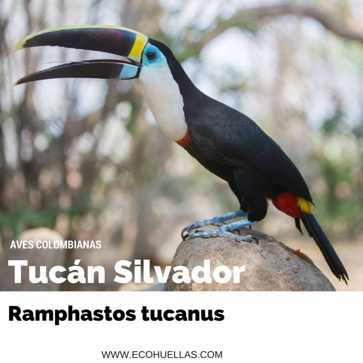 Tucan Silvador,  📷 David Osorio L & Rafael Rincón   Aviario Nacional De Colombia  #EcoHuellas #EcoCielo #AvesColombianas