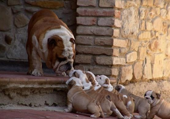 Are you our mommy?Bulldogs Puppies, Animal Pictures, English Bulldogs, Pets, To Work, Funny Dogs Pictures, Funny Animal, Families, Animal Memes