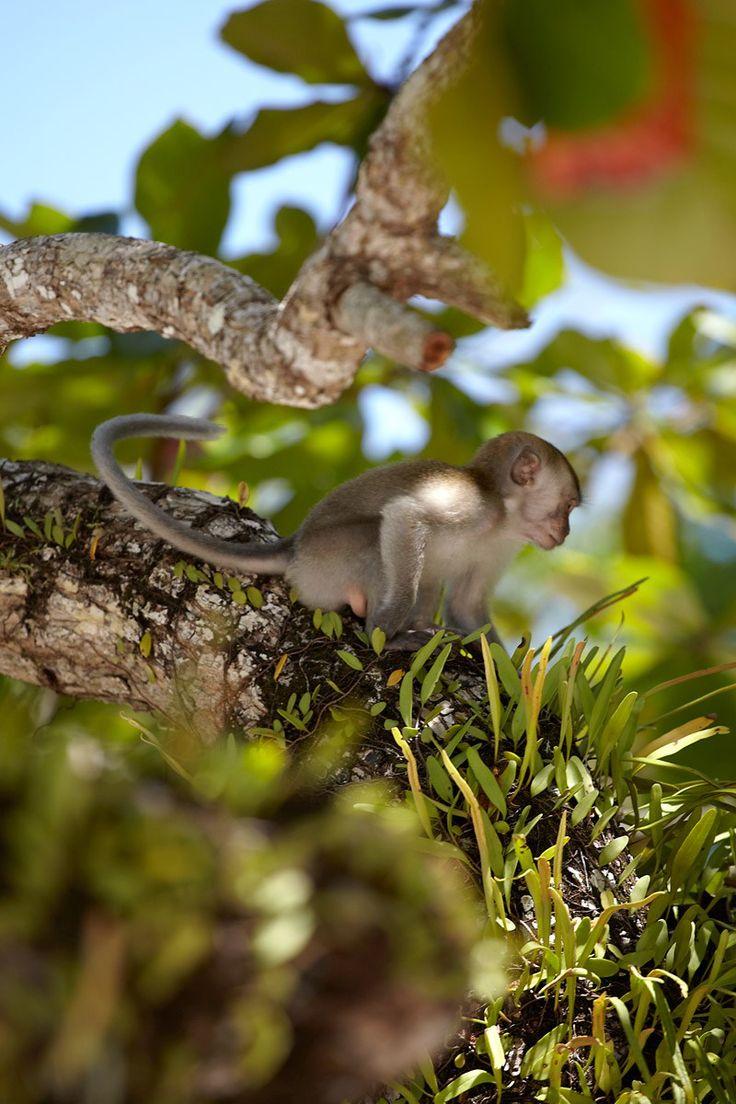Malaysia, Palau Pangkor, Island of the apes