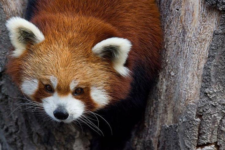 Ponçiklik size mi özel sandınız? Eğer cevabınız evet ise henüz Kızıl pandalar ile tanışmadınız.Çin,Myanmar ve Asya'nın diğer bölgelerinde yaşayan canlıların nüfusu oldukça azaldı.