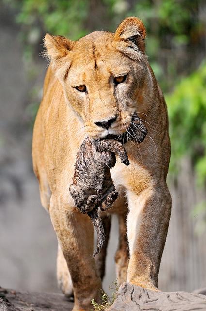 Lioness carrying her newborn cub