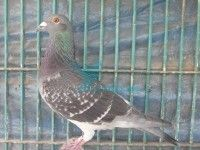 This Male racer pigeon is for sale