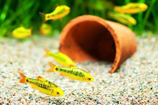 10 Best Coldwater Fish That Don T Need A Heater In 2020 Coldwater Fish Fresh Water Fish Tank Freshwater Fish