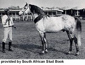 The history of the Boer horse is as old as the history of the white civilization in Southern Africa. The growth and development of the breed were parallel and inseparably connected to the history of the white settlers. The Boer horse descends from the extinct Cape horse, now extinct.  The photo corresponds to the old type of Cape horse. Breeds of Livestock - Boer Horse — Breeds of Livestock, Department of Animal Science