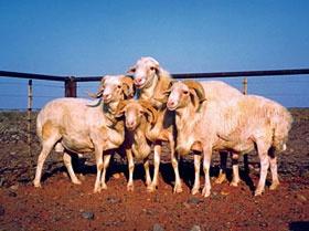 ronderib afrikaner sheep
