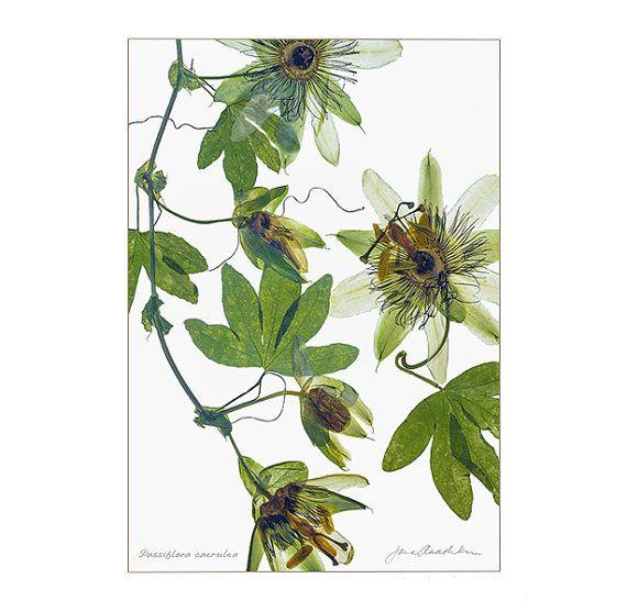 Passifllora caerulea / signed Botanical Giclée Print  by Jane Anashka of Save Me I'm Wild