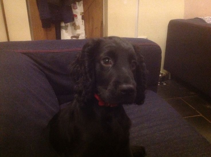 Monty our working cocker at 4 months old