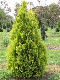 Туя западная Еллоу Риббон (Thuja occidentalis Yellow Ribbon)  2*0,8