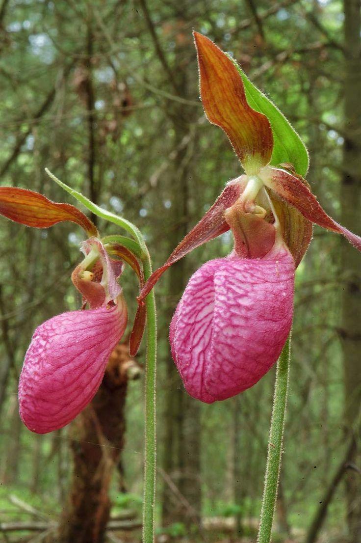 photo pictures,Lady slipper flower,Massasoit state Park,Massachusetts state Parks,Taunton Massachusetts,Pink Flowers,Ladies slippers Flowers, foto image photographs photos travelogue