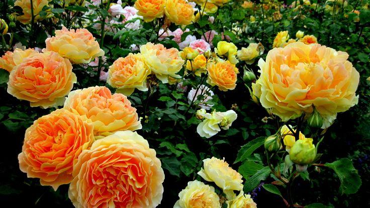 sfondi giardino fiori rose fiori foto fiori