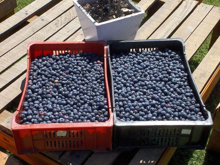 Nuestros arandanos recien cosechados!