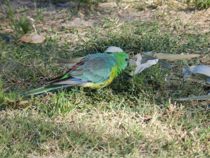 Red Rumped Parrot, Mildura VIC