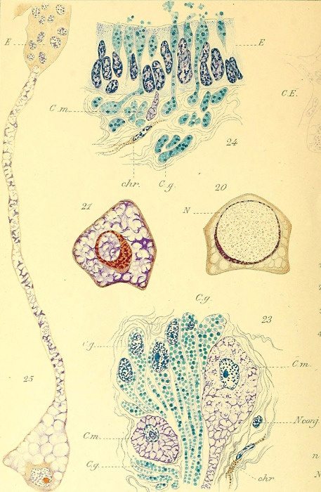 Cells in a snail salivary gland