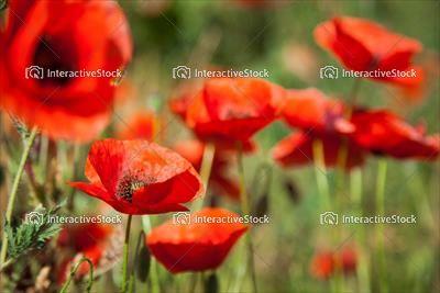 Maki na łące. Wiosna i słońce.  Kwiecista kolekcja z InteractiveStock