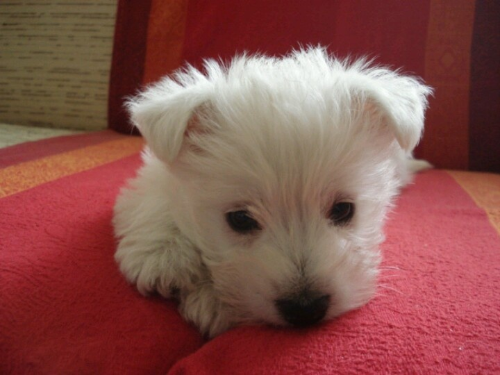 Aggie is the most beautiful westie puppy