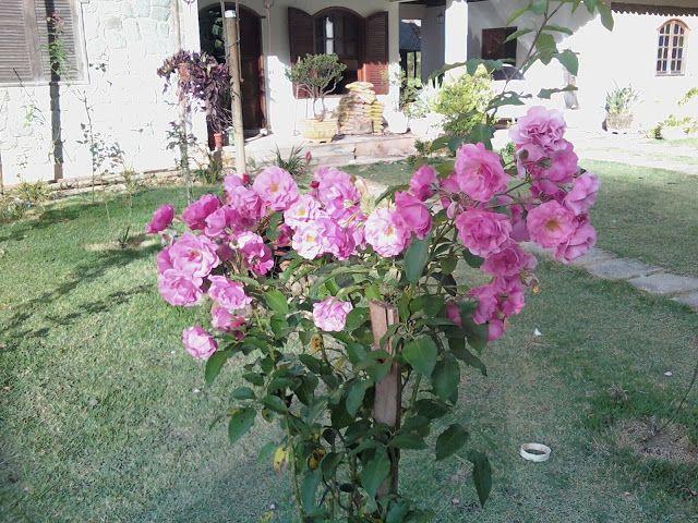 O cultivo é  fácil e se você tem um jardim e quer um roseira, vão aí as dicas: