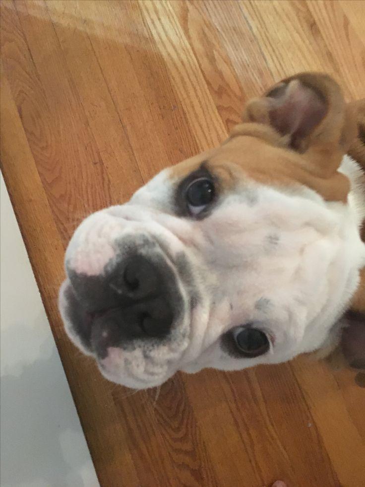 Super precious like this if you LOVE Victorian bulldogs