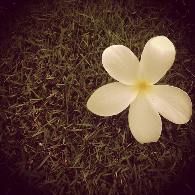 A lovely frangipani from my morning walk. To see more: heatherbourque.ca #Panama #photography #pty