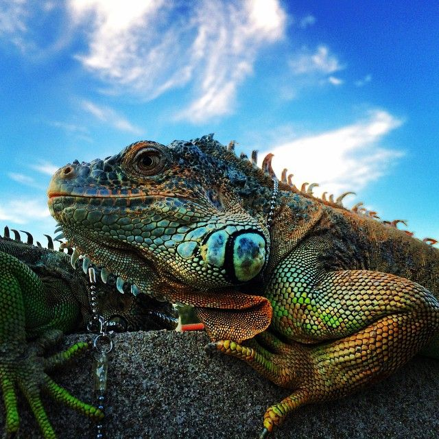 Instagram media kodawarijeweler - アイデアを拾うために近所の巨大公園を散歩中、5匹のイグアナを飼うおじさまに遭遇。思わぬ方向からのインスピレーションをありがとうございます。 #イグアナ #iguana