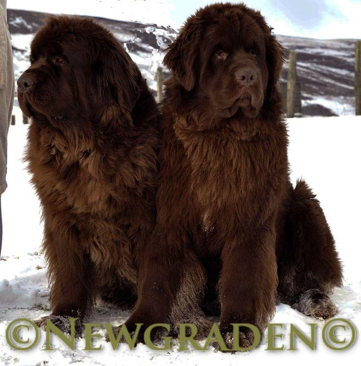 newfoundland dog | Newfoundland Dogs