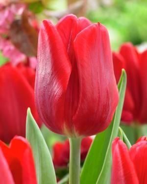 Tulipa prince series 'Ruby Prince' Tulip