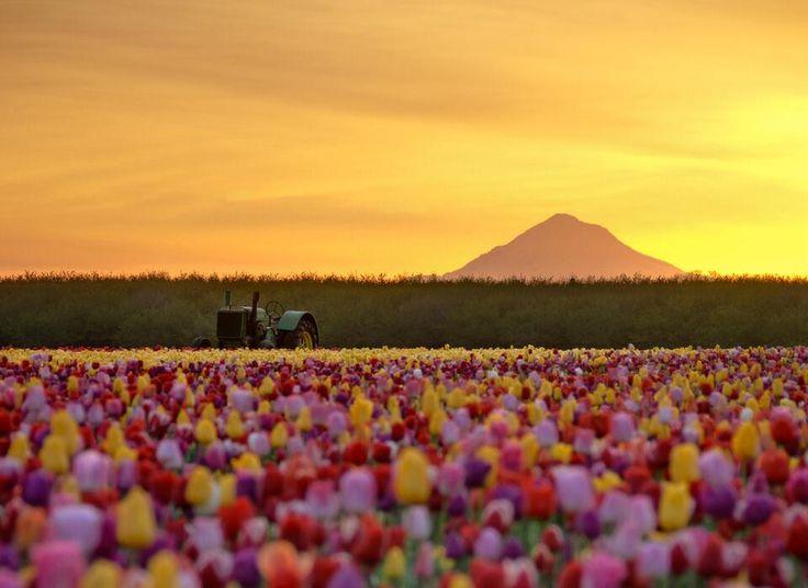 オレゴンのチューリップ畑(アメリカ) pic.twitter.com/KEVrshW5Ik