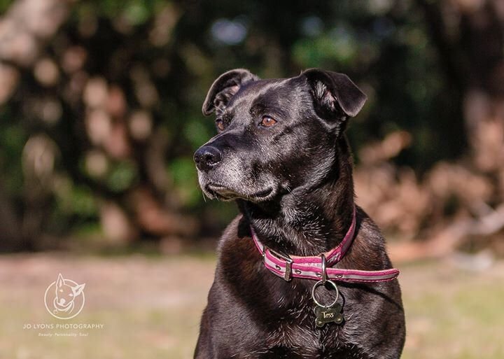 This beautiful girl is Tess and she was adopted by a lovely couple who were looking for an older dog to share their new home with. Tess was rescued by No Kill Pet Rescue and is estimated to be about 11 years of age. So many people want a puppy so it's lov