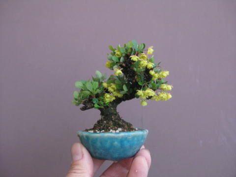 """Baby "" Bonsai 49   ~  盆栽:八房メギが咲き始める|春嘉の盆栽工房"