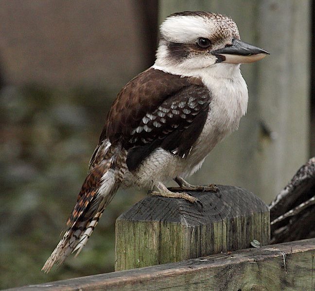 Kookaburra, Featherdale Wildlife Sanctuary .So that's what a Kookaburra looks like!